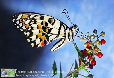 Philippine  Female Lime Butterfly ( Papilio demoleus ) chocovoices 2015