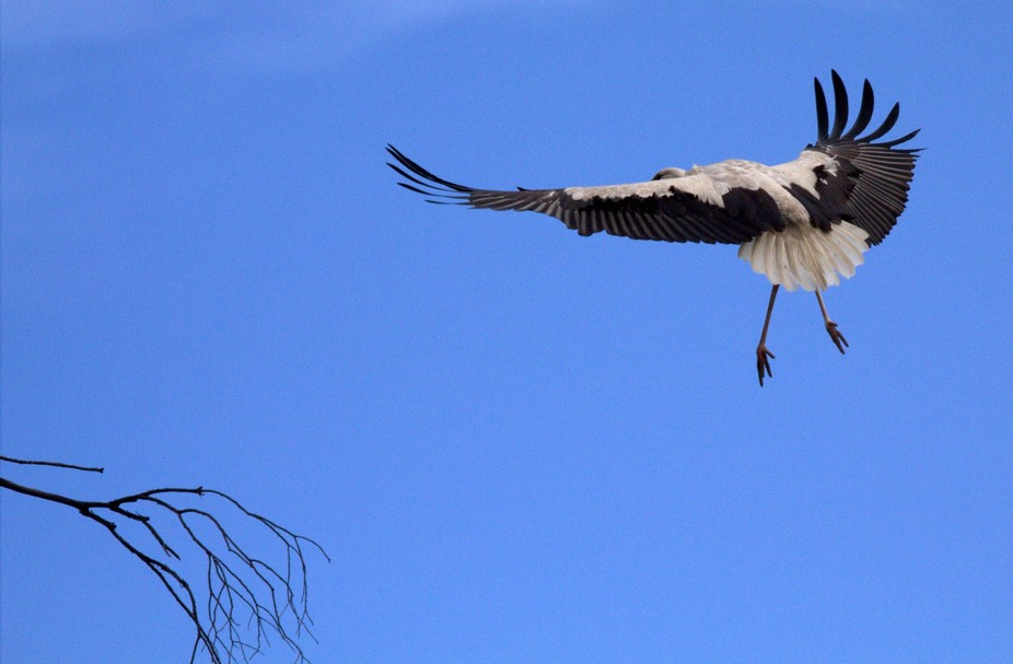 These are storks that fly from Denmark to South Africa every year . The photos were taken on a fa...