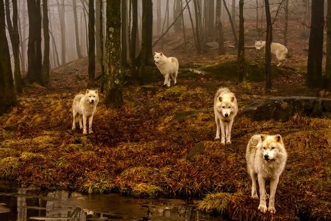 Wolf Pack Gang  by Jean-Francois
