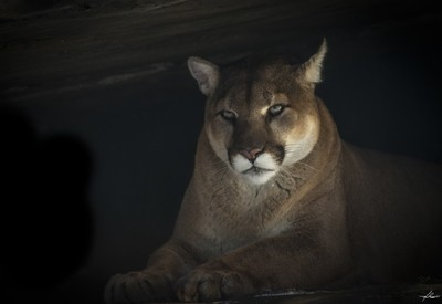 Cougar in a Cave