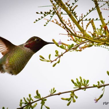 Finally captured a hummingbird in flight; very exciting.