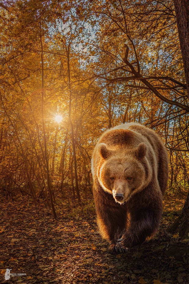 Brown Bear by Fotostyle-Schindler - The Brown Color Photo Contest