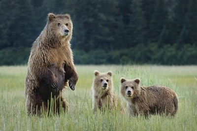Momma Bear and Cubs
