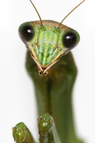 Mantis Portrait