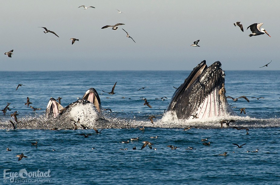 Humpbacks feeding in Monterey Bay, California