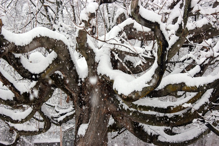 Winter 2014, Danville IN. The heavy snow enhances already interesting tree. Featured in PhotoShop...