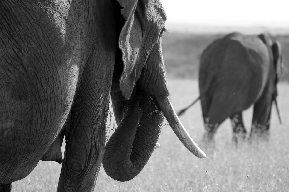 We followed this large matriarch for quite a while and I have many shots of her with her young bu...
