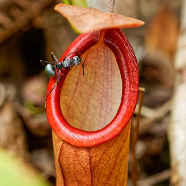 A black ant crawls on the rim of a carnivorous tropical pitcher plant, Nepenthes mirabilis, in Sabah, Borneo. One slip and it will fall into a pool of liquid, where it will decompose and provide nourishment for the plant.