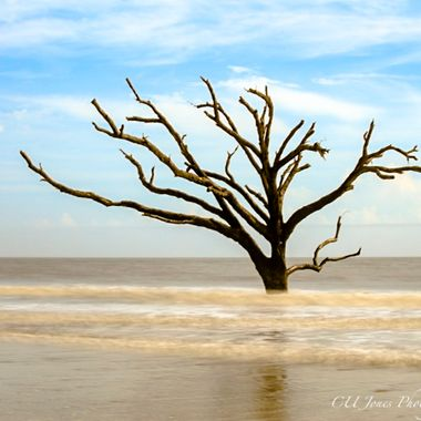 One of the many boneyard trees on Botney Bay Beach, Edisto Island, South Carolina