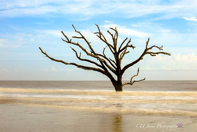 One of the many boneyard trees on Botney Bay Beach, Edisto Island, South Carolina