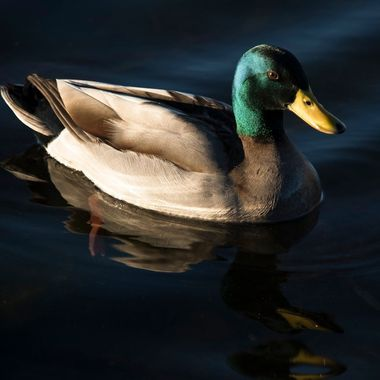 Relective Duck