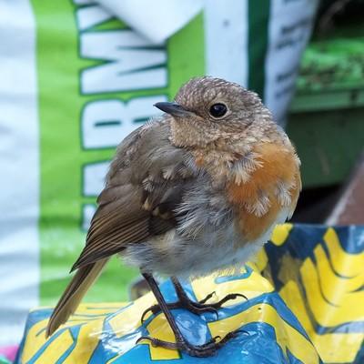 Pet Robin