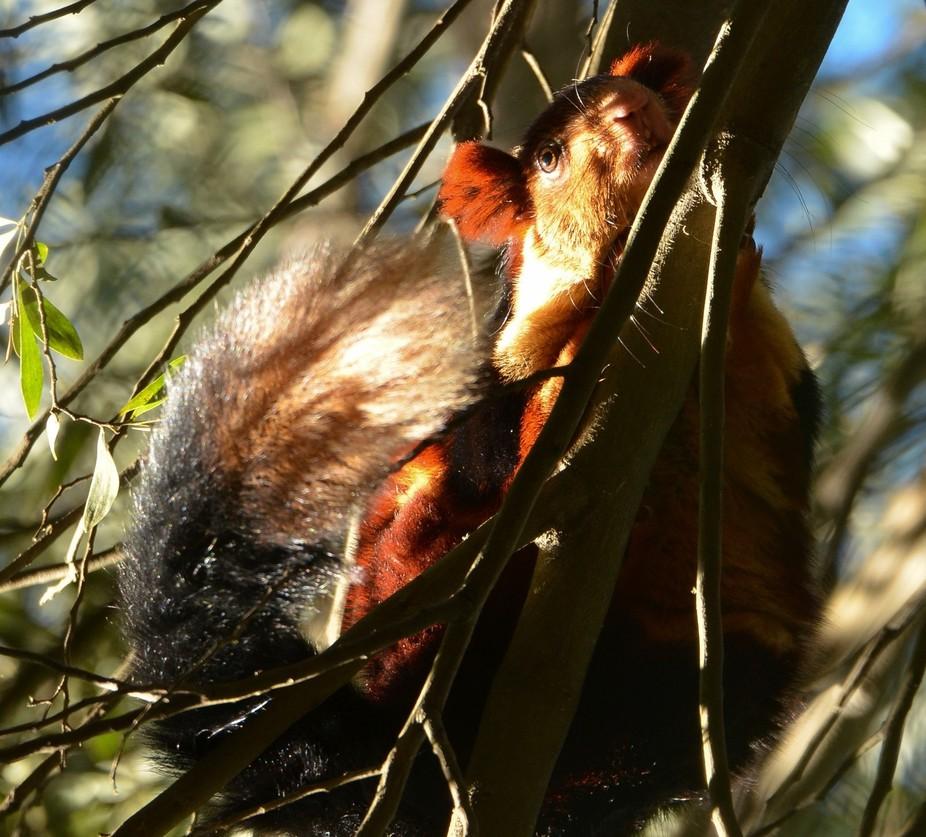 Malabar Squirrel-3