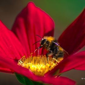 Macro photography of a foraging bee...  [ Check out others Social Medias Pages / ART SHOPS below ]  - FACEBOOK ART SHOP : http://ow.ly/VUzVA - TW...