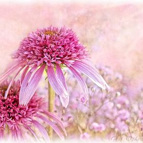 I found these beautiful Echinacea at a local Garden Centre. They were surrounded by lovely pink/mauve Baby's Breath. I added a few Textures ...