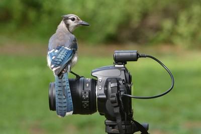 Blue Jay on Nikon Camera