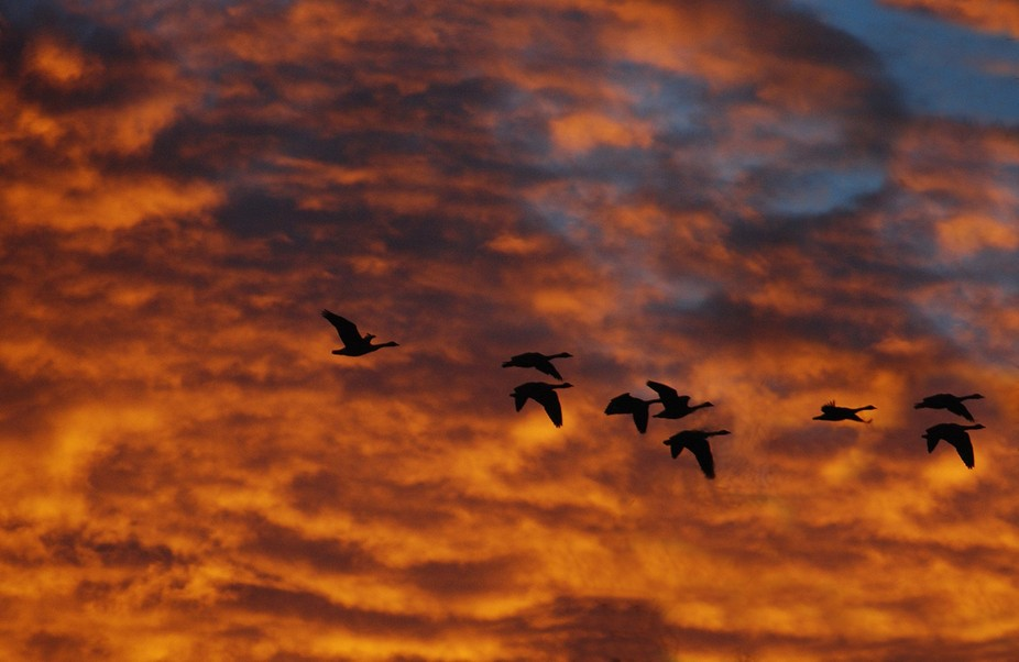 Geese fly at sunset through a blazing orange sky.