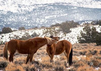Wild Mustangs of the High Sierra