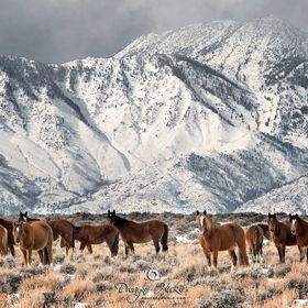 Recently Awarded Best Wildlife Photograph for the Lake Tahoe Area!  Northern Nevada is known for it's Mustangs and they never looked more at...