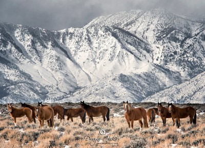 Wild Mustangs of the High Sierra