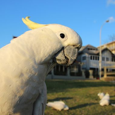 In Australia, one of our most prominent native birds is the Sulphur Crested Cockatoo. These birds are known for being extremely playful but also known for being extremely destructive too. In this photo, I was sitting at a park watching a flock forage for food when one of them took an interest in me, testing my shoes, camera bag and eventually, my hands. I was actually focusing on the birds in the background when this guy poked his head into the shot, causing the camera to refocus on him. Pretty good shot for an accidental picture