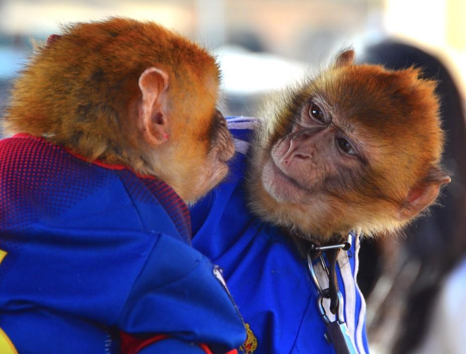 Performing Monkeys in Meknes, Morocco