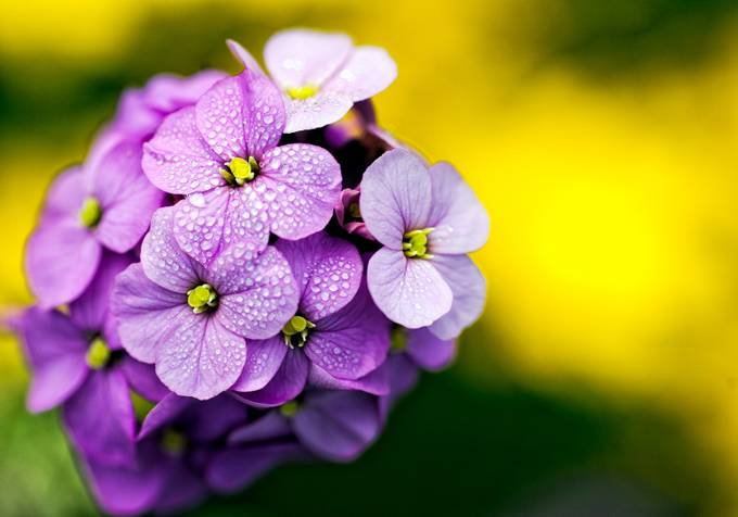 Lilac Garden flower by Badgrandad - Depth In Nature Photo Contest