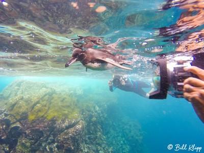 Galapagos Penguin Underwater