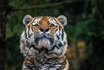 Tiger in the Rain