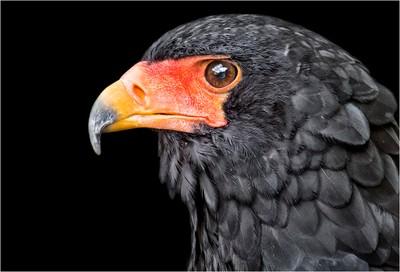 Profile of a Bateleur Eagle