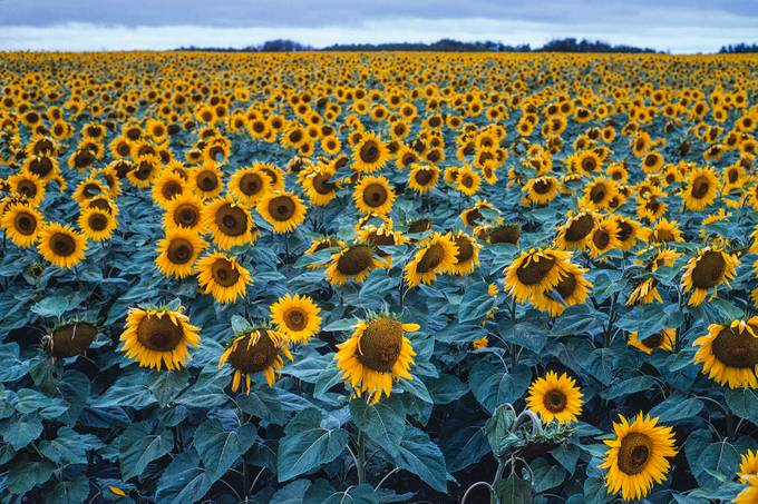 Manitoba Sunflowers by springlake - More Of The Same Photo Contest