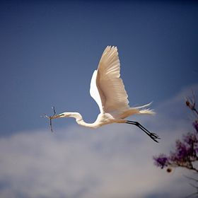 By the end of 19th century, Snowy Egrets were almost decimated for their beautiful plumes.  Their breeding areas are along the Atlantic coast, P...