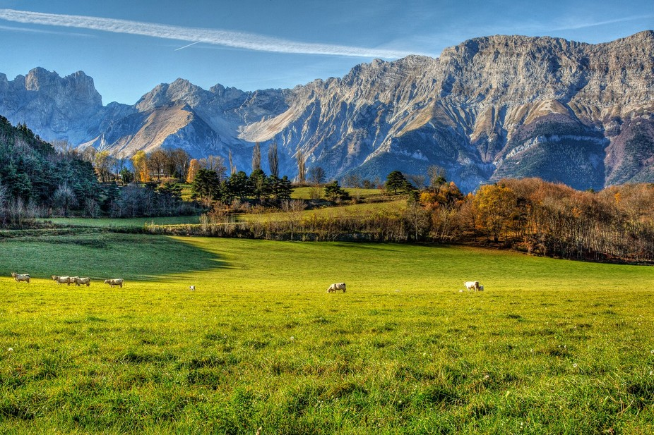 Cows graze beneath the french alps.