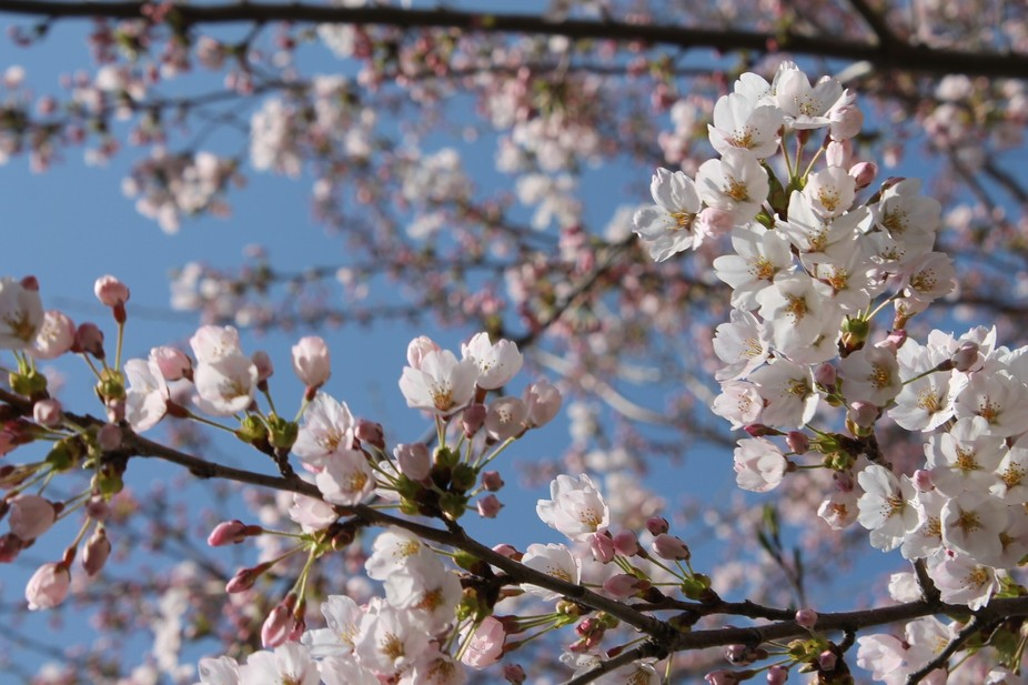 Japanese cherry blossoms in bloom. Japan