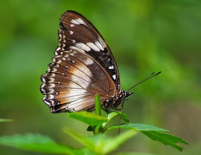 the brown butterfly