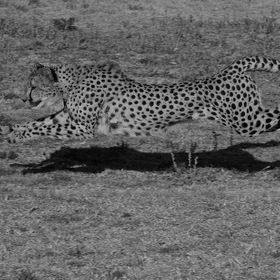 Cheetah as full pace and at full stride