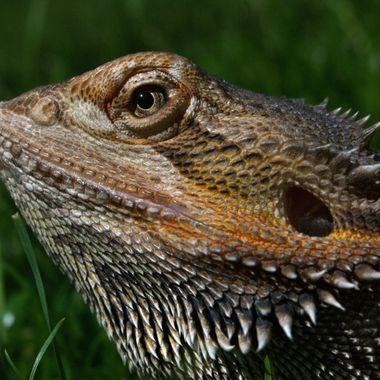 Beardet dragon