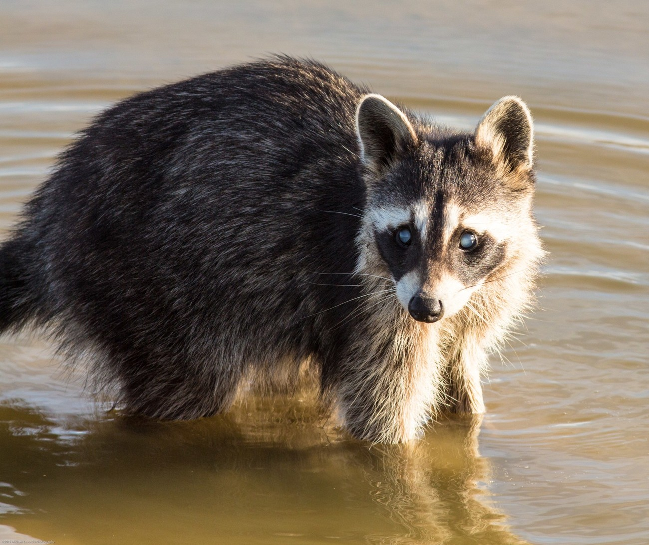 Haggerman Wildlife refuge, Sherman, TX Sweet looking Racoon