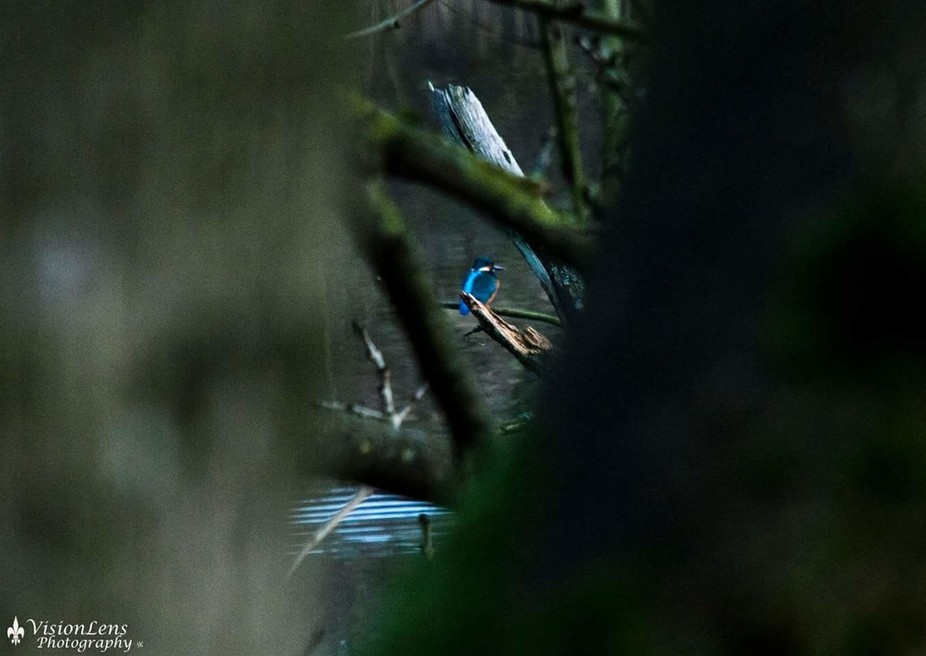 Peeking through the branches at a kingfisher