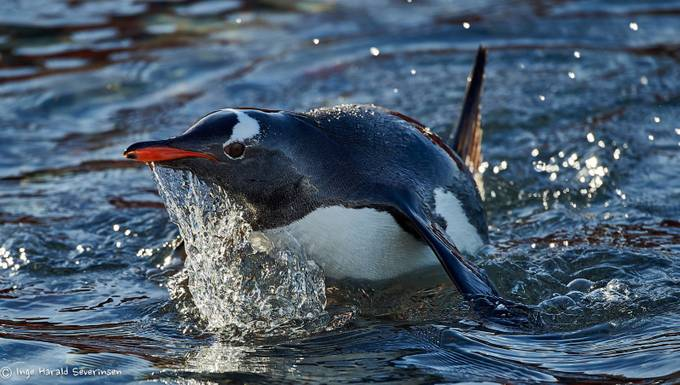 Gentoo Penguin in Gerlache by ingeseverinsen - Wildlife And Water Photo Contest