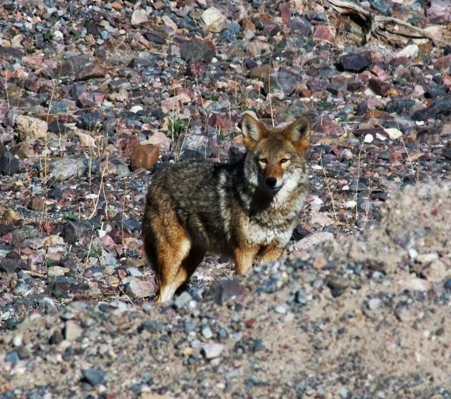 This is a healthy coyote native to Death Valley, CA.  They love eating the Palm Dates off the tre...