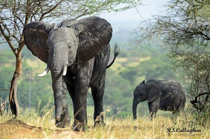 Mother and Calf by ron7cal - Big Mammals Photo Contest