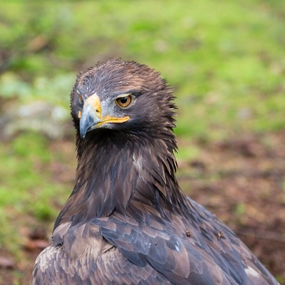 Steenarend - Golden Eagle