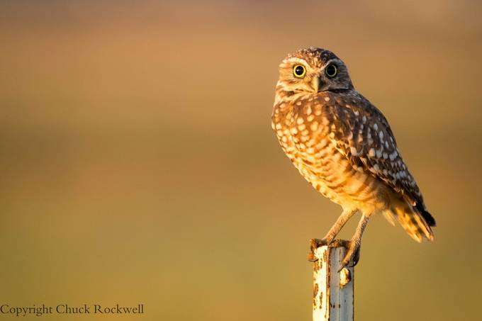 Sunrise Owl by chuckrockwell - Animals And Rule Of Thirds Photo Contest