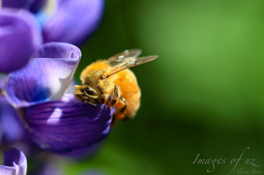 Furry Bee AB_058A2074.jpg
