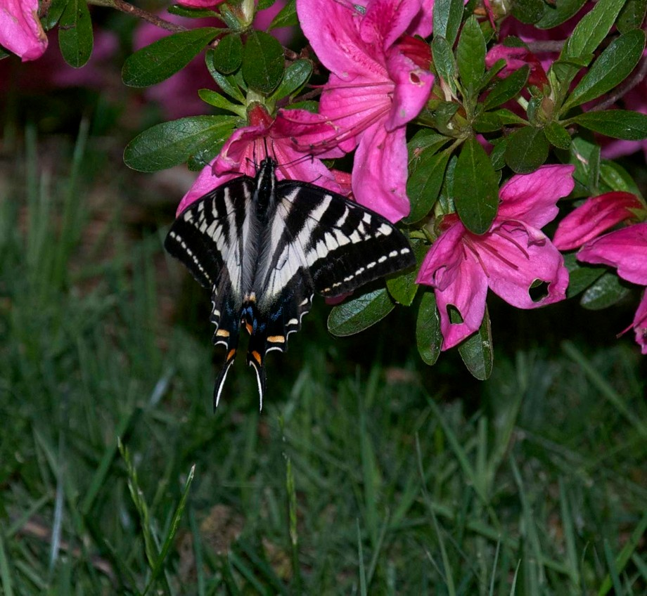 I was taking photos of different colored azaleas when this fellow landed near me. I could barely ...