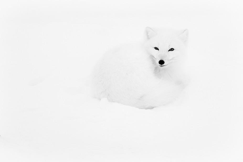 arctic fox ,Seal River Canada