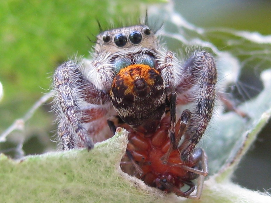 a jumping spider eating another spider