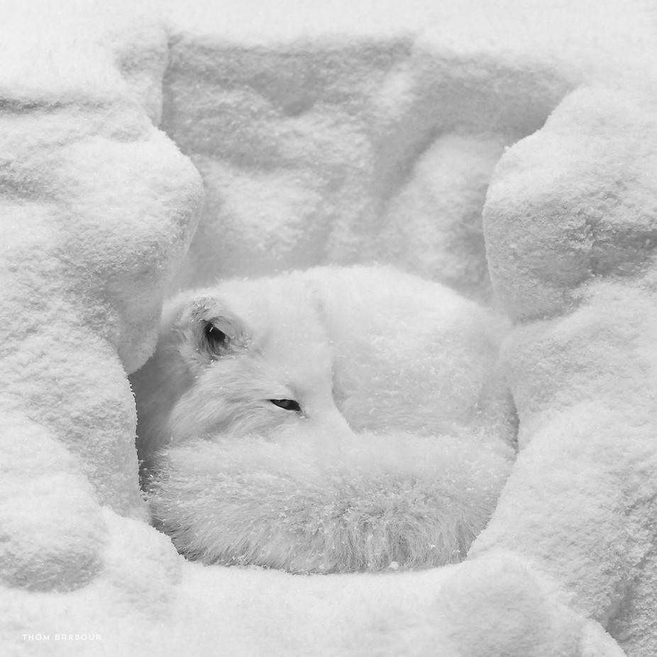 Arctic Fox by thombarbour - Soft Photo Contest