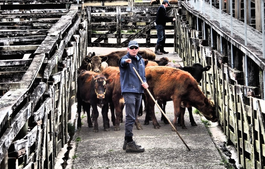 Sale Day at the Kaikohe Saleyards